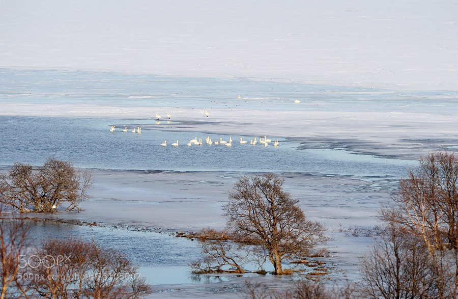 Photograph Wintering swans in Kamchatka. by Igor Shpilenok on 500px