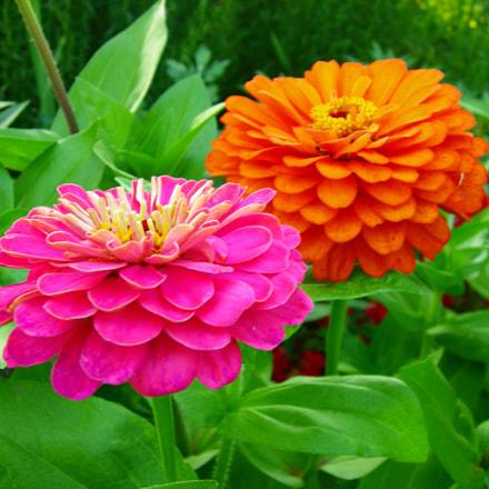 Zinnia Flowers, Nikon COOLPIX P2