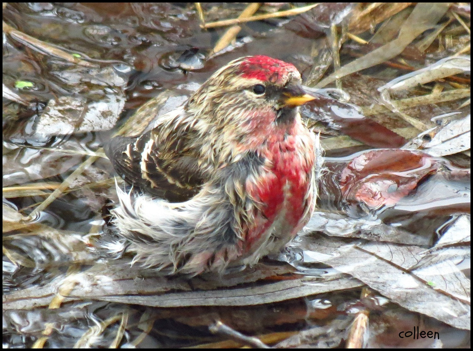 Photograph Redpoll Shower! by colleen thurgood on 500px