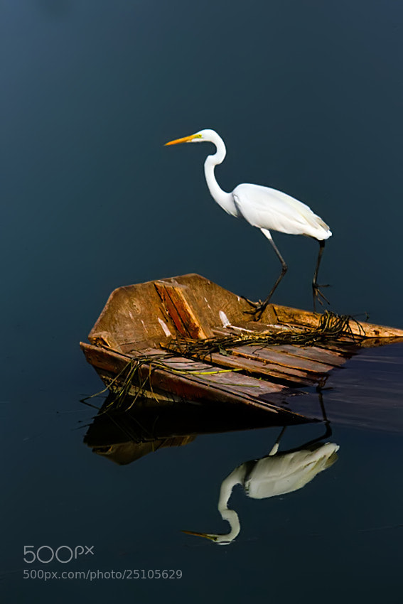 Photograph The Great Egret by Nitin  Prabhudesai on 500px