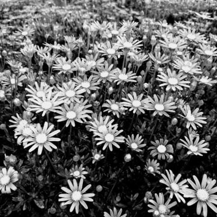 M.G. White flower