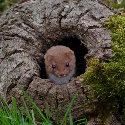 Stoat in knot-hole, RICOH PENTAX K-3, Sigma 70-300mm F4-5.6 Macro