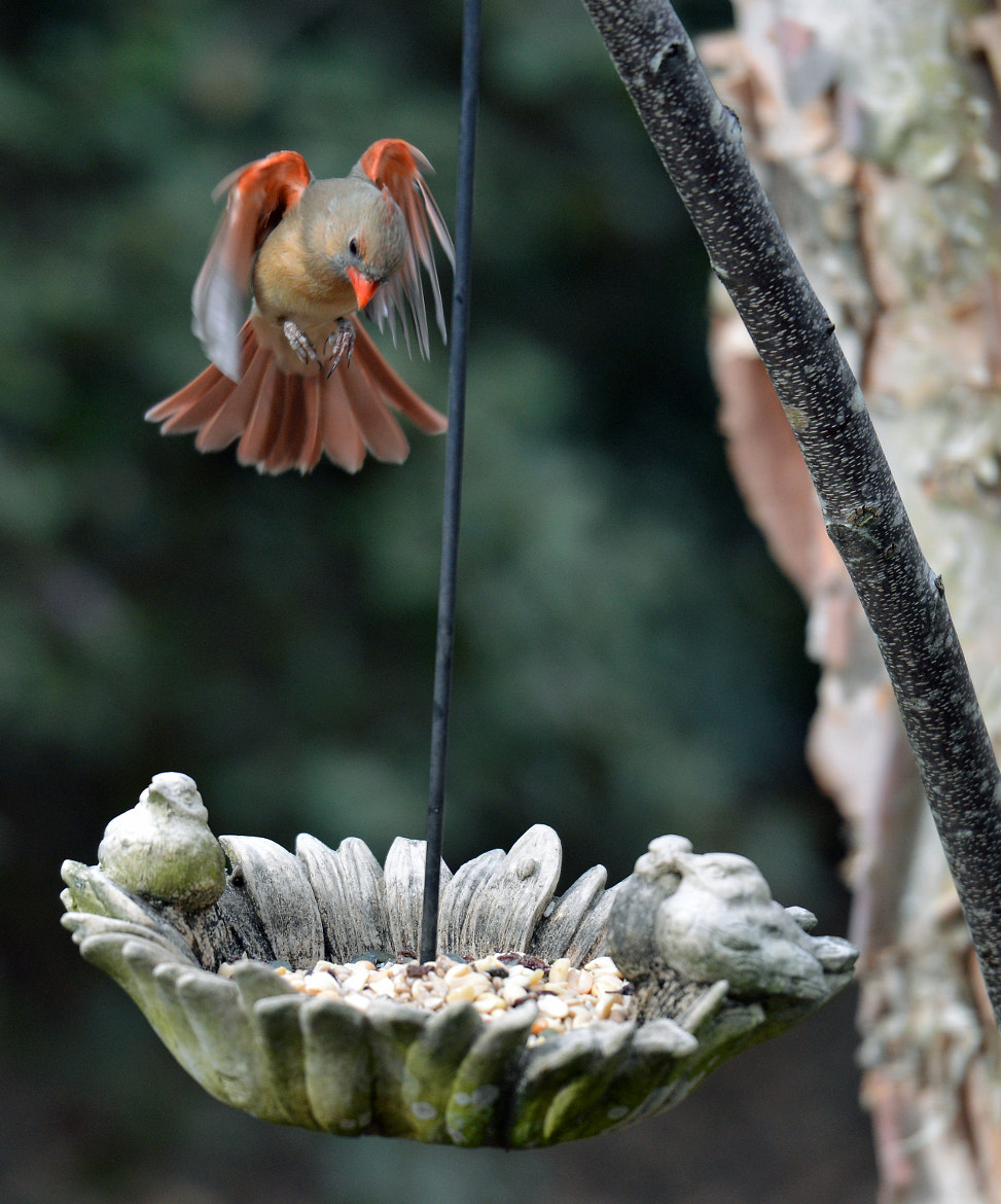 Photograph Female Cardinal - Final Approach by Mark Luftig on 500px