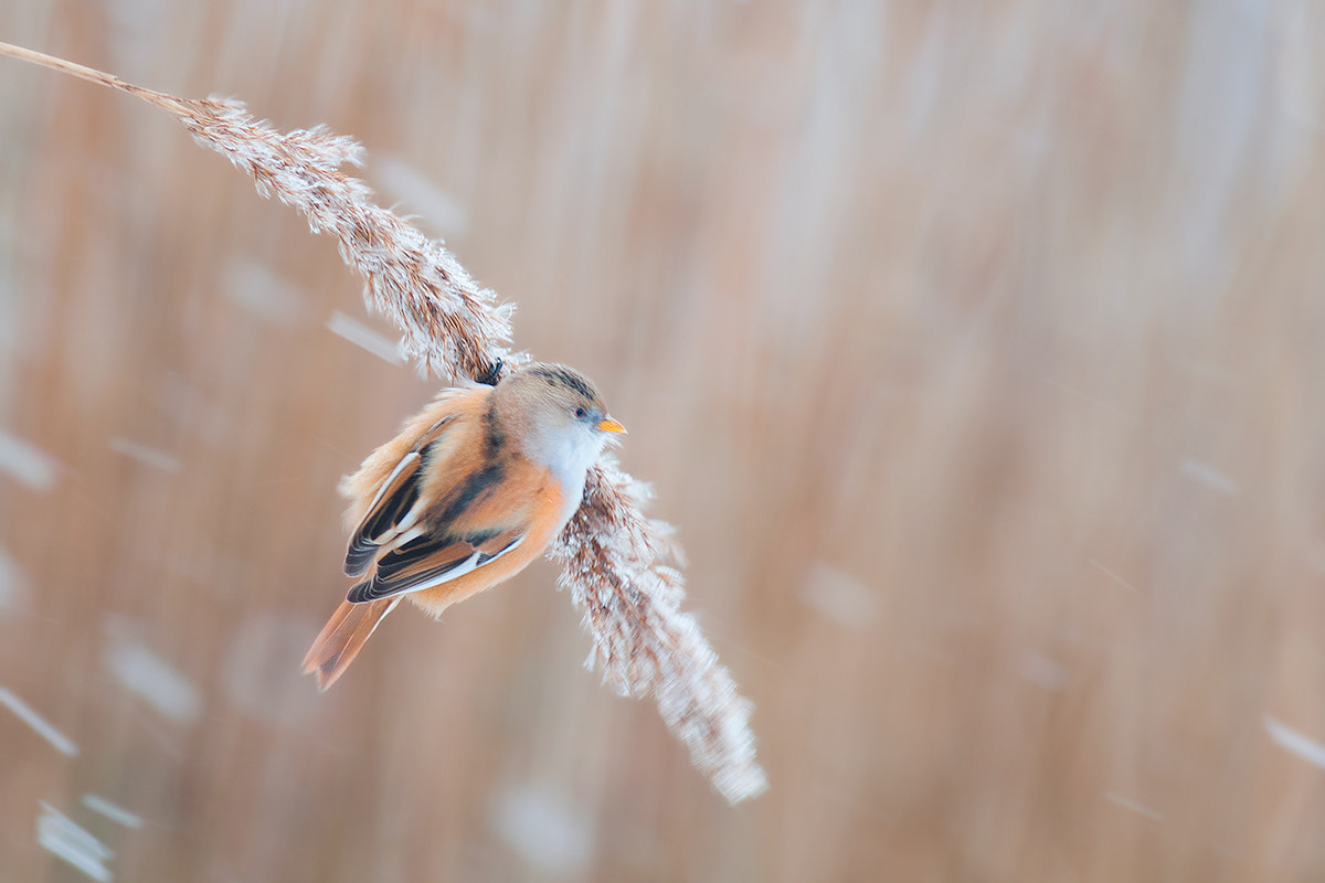 Photograph Bearded Reedling Female by Rob Janné on 500px