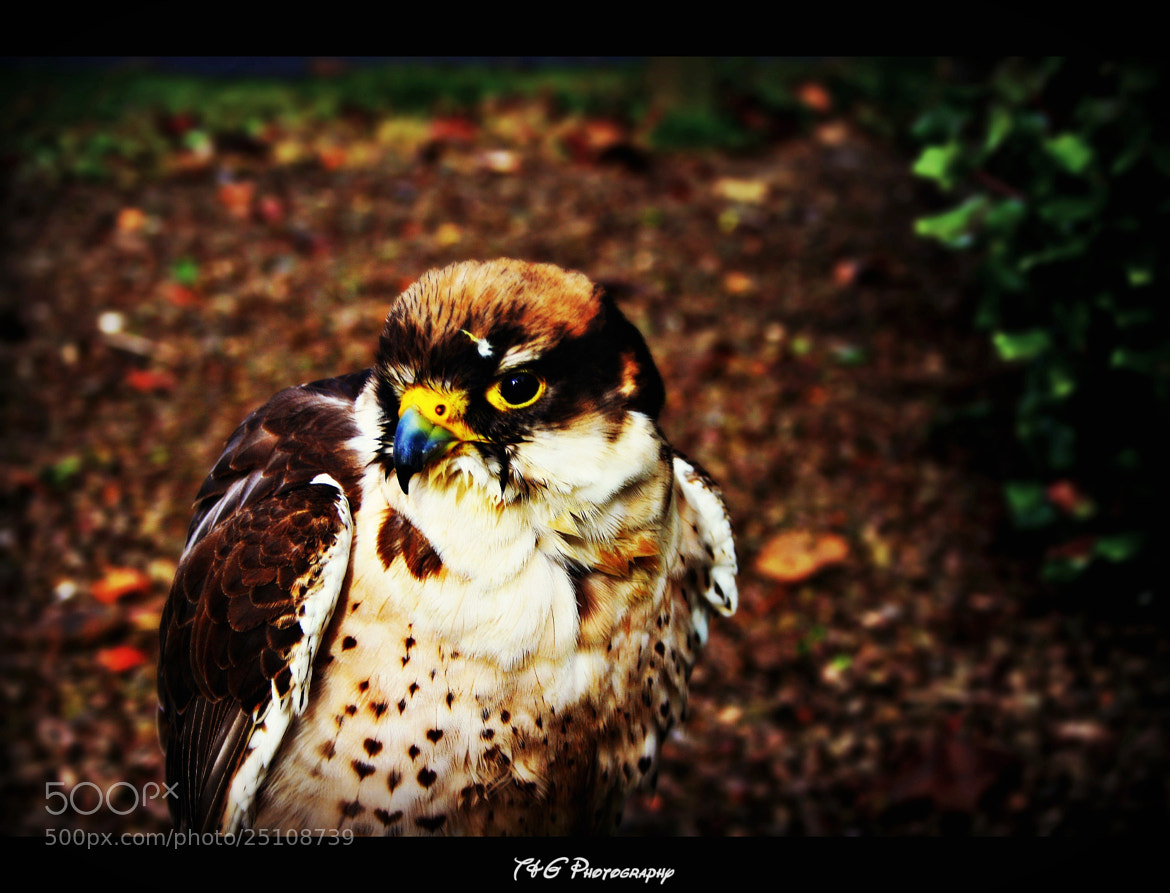 Photograph peregrine falcon by T&G Photography  on 500px