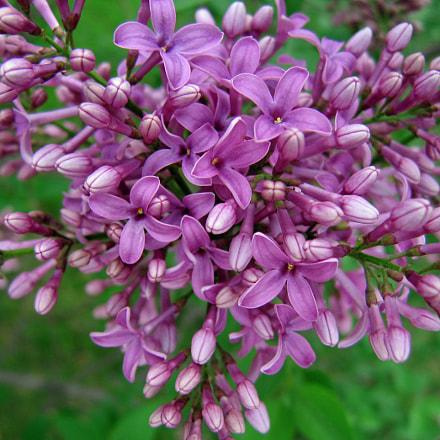 Aunt Jane's Lilacs, Canon POWERSHOT S70
