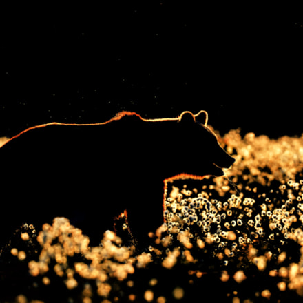 Bear pattern, Nikon D4S, AF-S VR Nikkor 400mm f/2.8G ED