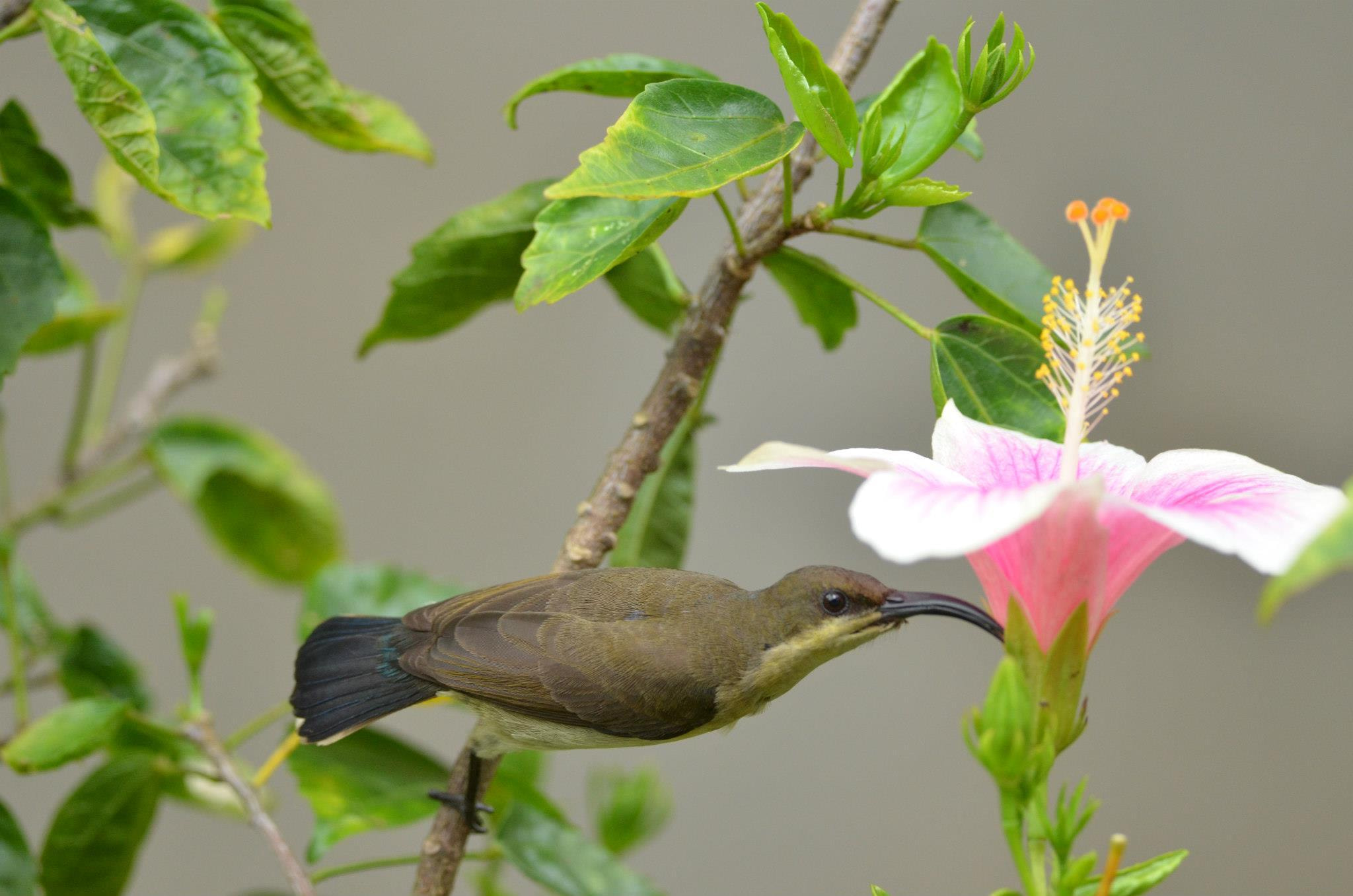 Photograph Sunbird Female by Bee Buzz on 500px