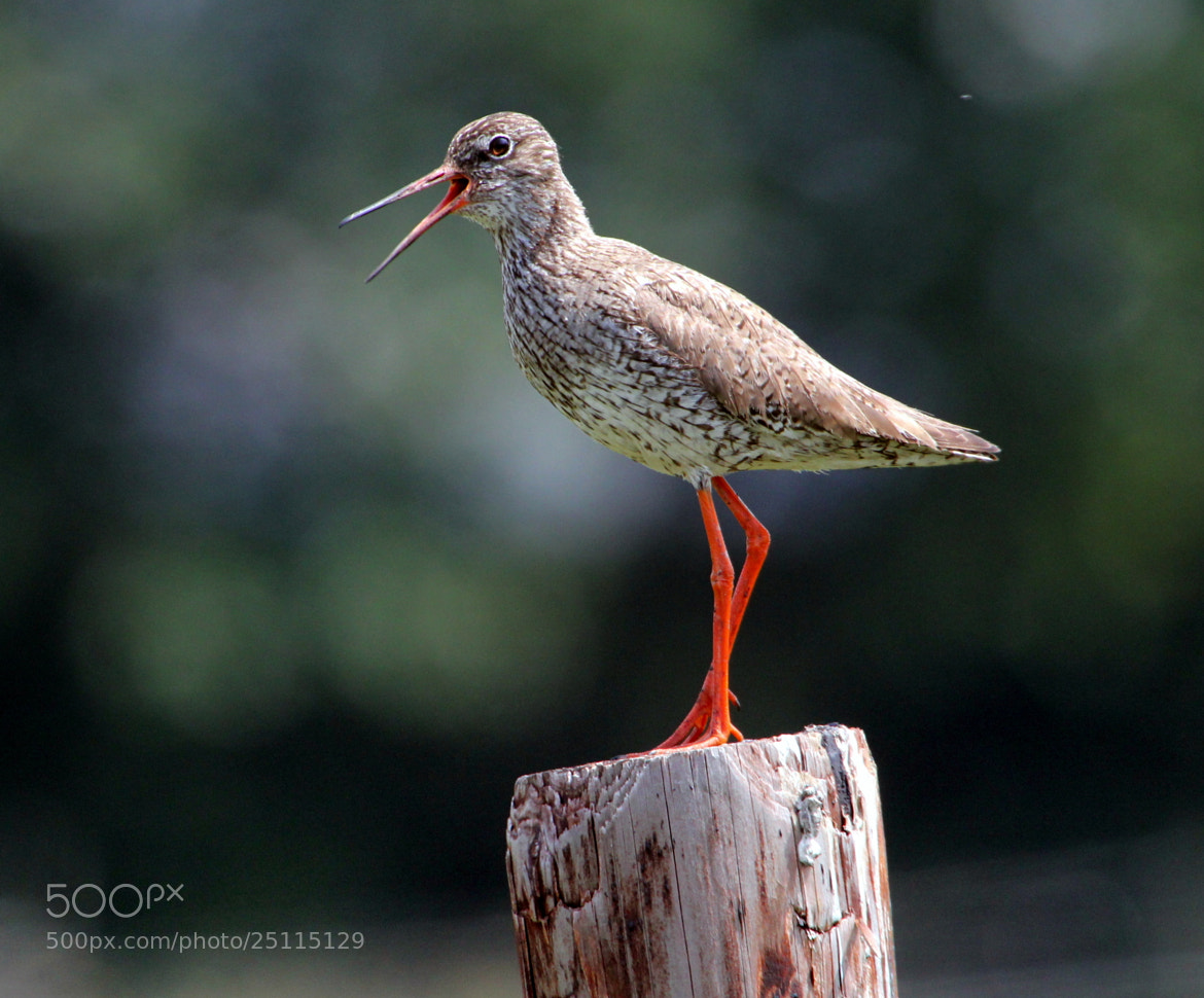 Photograph Redshank Temper by Ger Bosma on 500px