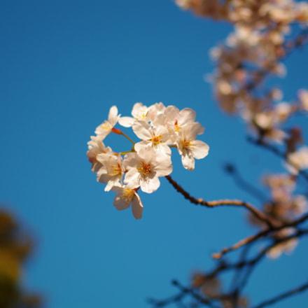 Cherry Blossoms, Pentax K-7, smc PENTAX-DA 35mm F2.4 AL