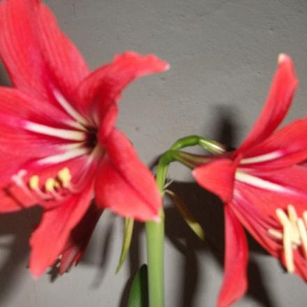 flower, Fujifilm FinePix J27 J28 J29