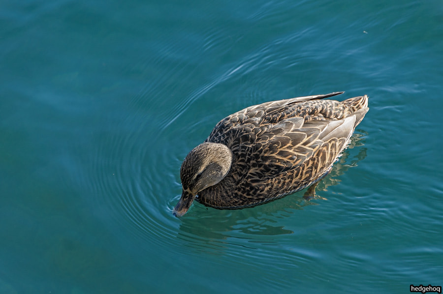 Photograph Duck 2 by Dmitry Stepanov on 500px