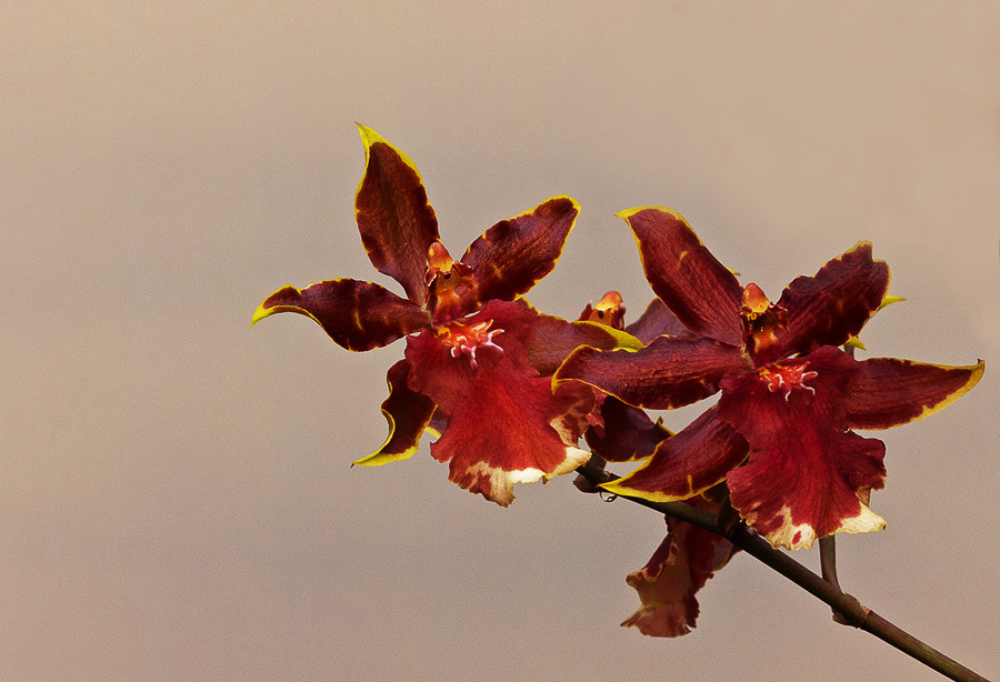 Photograph orchidee by marleen aerts on 500px
