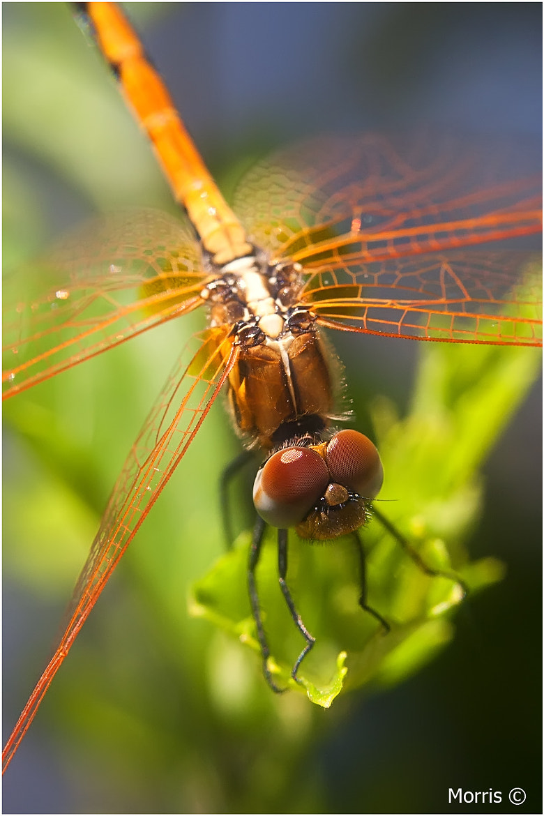 Photograph Dragon Fly by Dave Morris on 500px