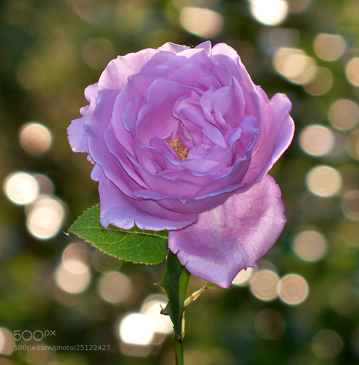 Photograph Single Pink Rose and Bokeh by Nancy Andersen on 500px