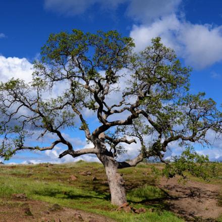 Tree, Upper Bidwell Park, Nikon D5100, AF-S Zoom-Nikkor 24-85mm f/3.5-4.5G IF-ED