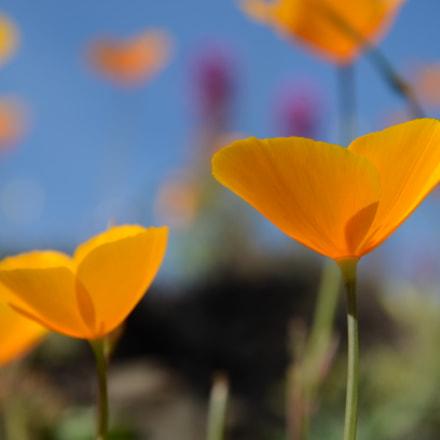 Corn Poppy, Nikon D5100, AF-S VR Zoom-Nikkor 24-85mm f/3.5-4.5G IF-ED
