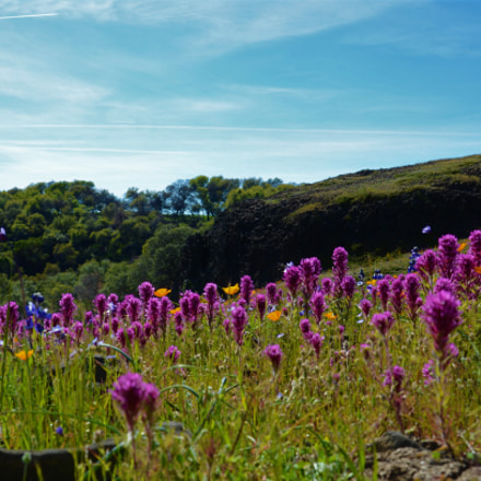 Field of flowers, Nikon D5100, AF-S VR Zoom-Nikkor 24-85mm f/3.5-4.5G IF-ED