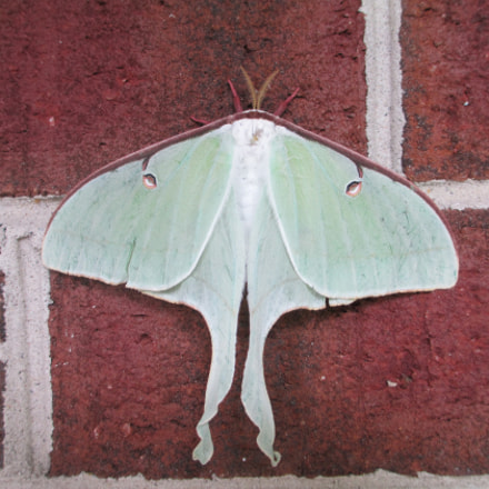 Luna Moth, Canon POWERSHOT A4000 IS