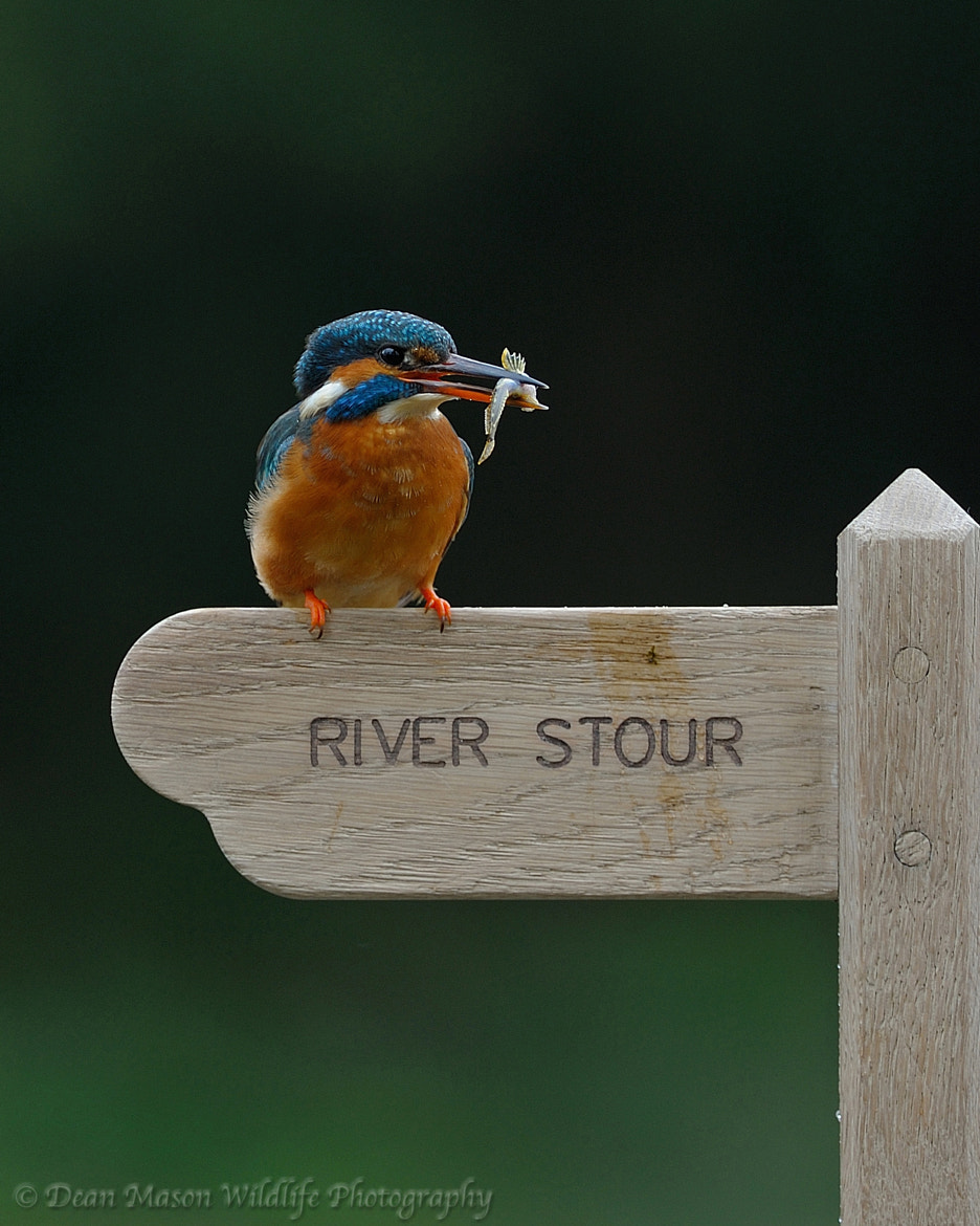 Photograph River Stour Kingfisher with Fish by Dean Mason on 500px