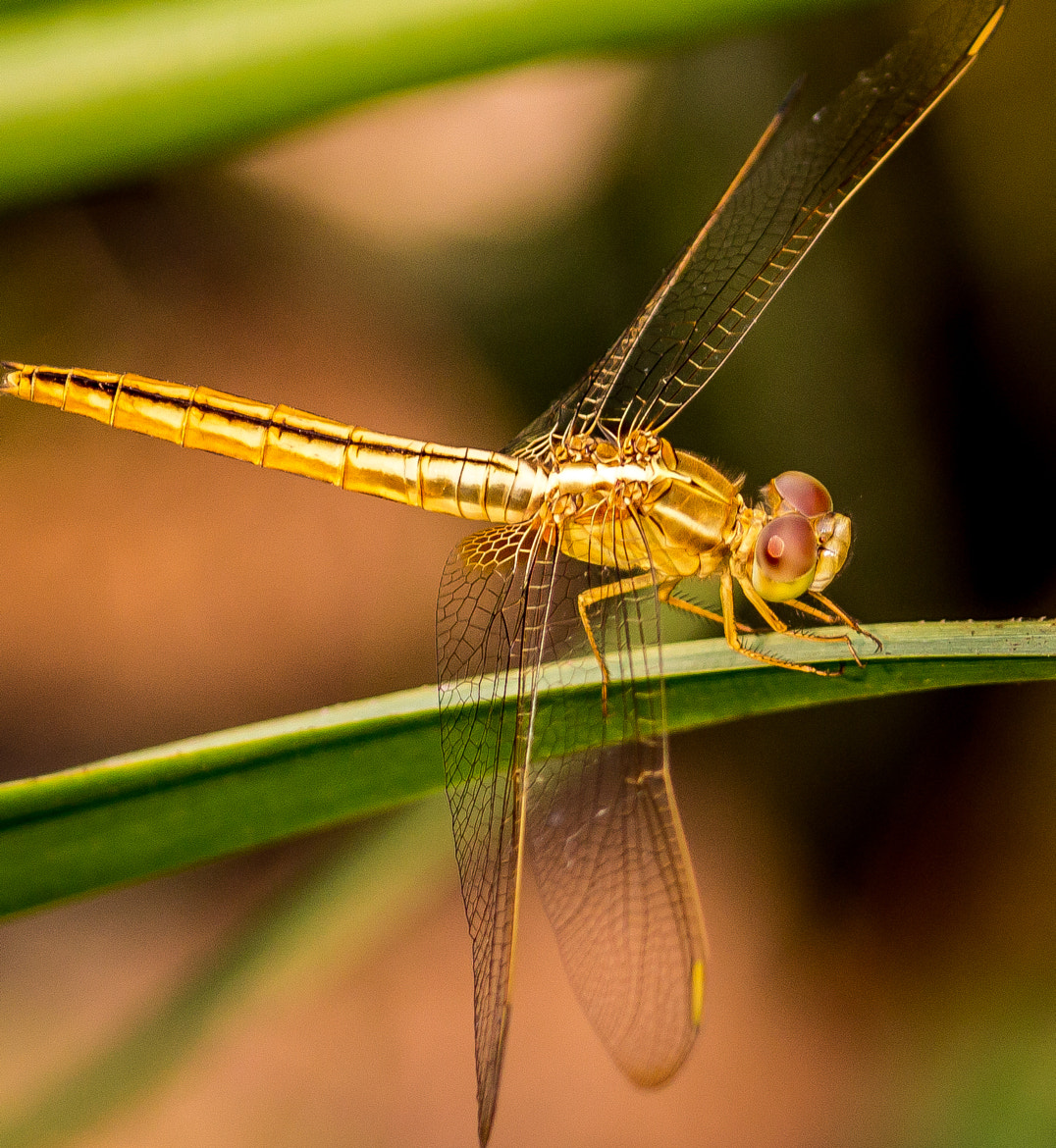 Photograph Golden Dragonfly 2 by Richard Nurse on 500px