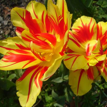 Zebra tulips, Sony DSC-L1