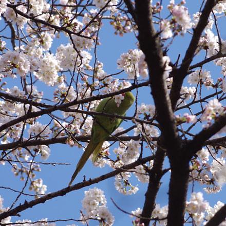 Cherry Blossom with Feral, RICOH PENTAX K-S2, smc PENTAX-DA L 55-300mm F4-5.8 ED