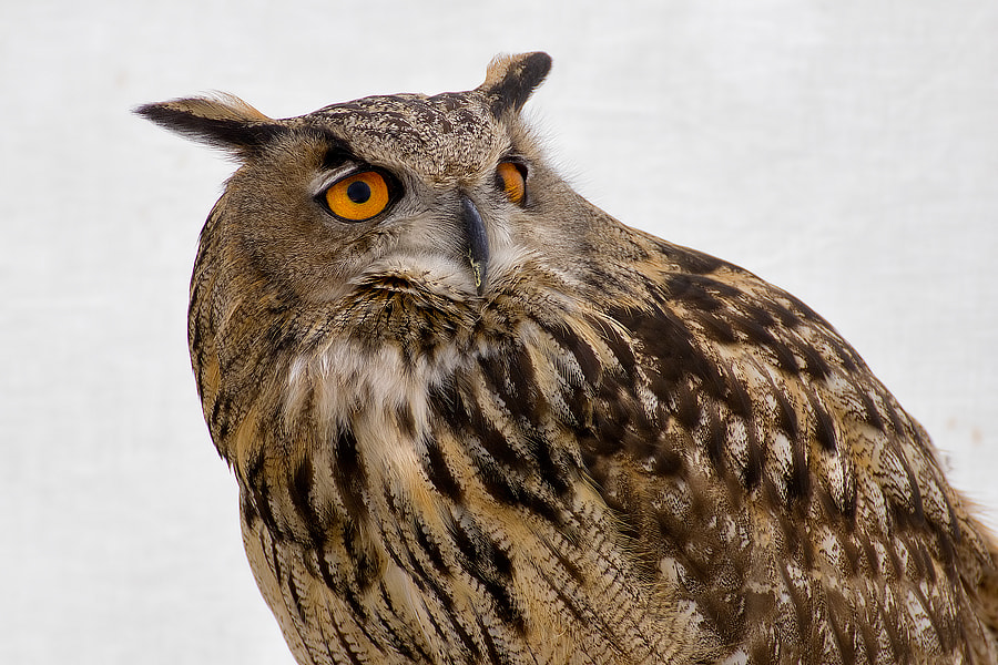 Photograph Owl in the snow by Roberto Becucci on 500px