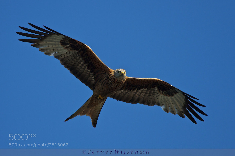 Photograph Red Kite (Milvus milvus) by Servee Wijsen on 500px