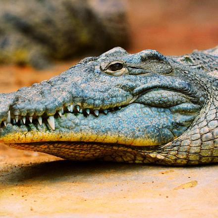 alligator, Nikon D7100, Sigma APO Macro 150mm F2.8 EX DG HSM