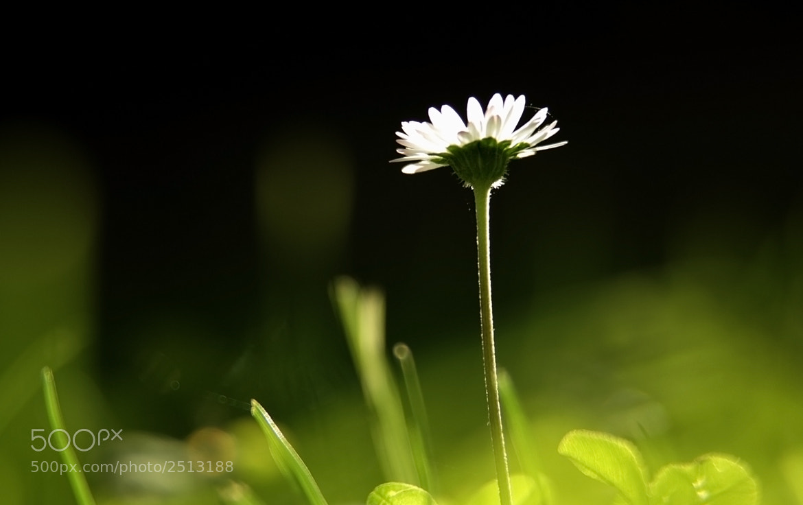 Photograph daisy by alice angelotti on 500px