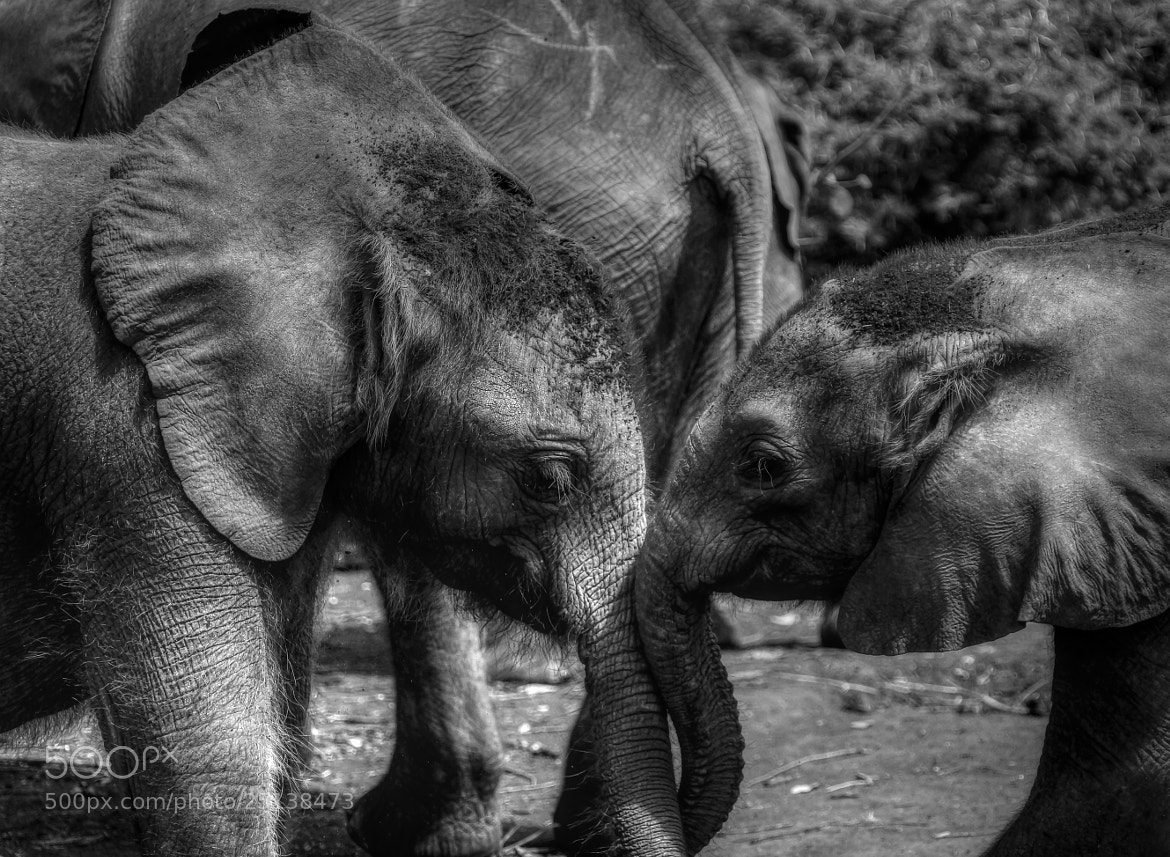 Photograph 2 Orphan Elephants by Richard Lockwood on 500px