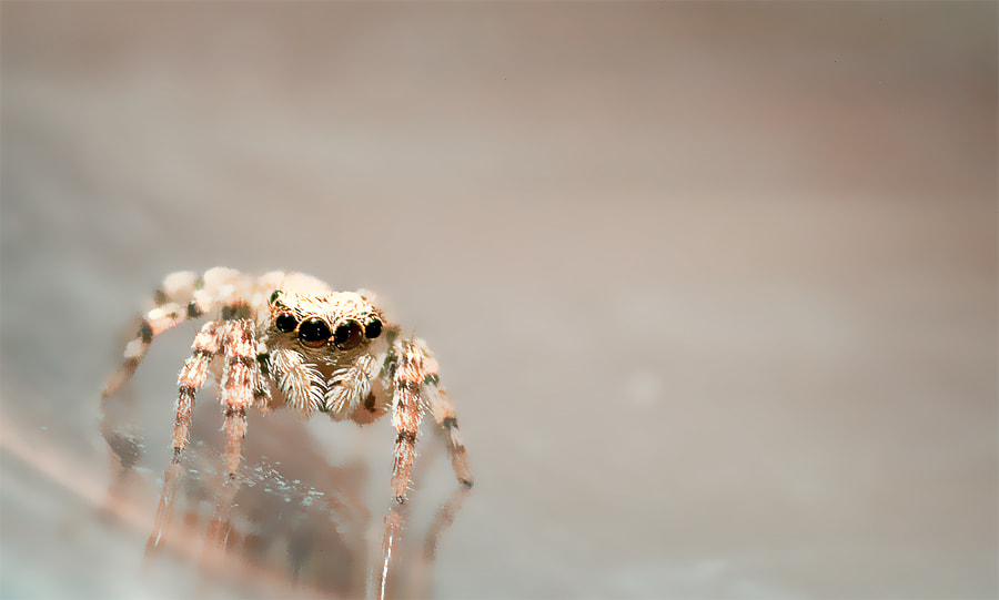 Photograph ~jumping spider by Michaela Rother on 500px