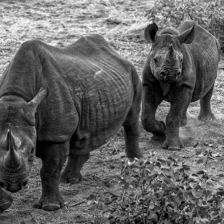 Etosha black Rhino cow, Nikon D4S, AF-S VR Zoom-Nikkor 200-400mm f/4G IF-ED