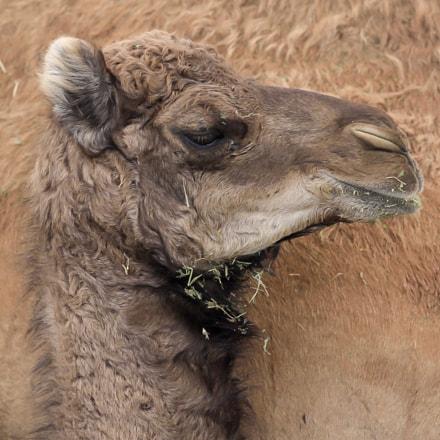 Camel Calf in Maraee Show in Bahrain