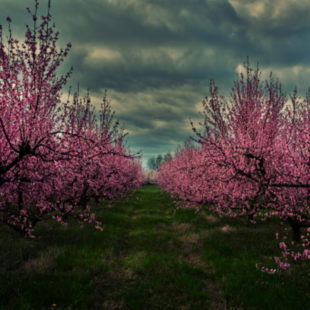 Peschi in fiore San, Nikon D5200, Sigma 18-200mm F3.5-6.3 II DC OS HSM