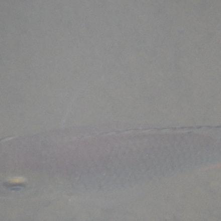fresh water fish, Nikon COOLPIX S9500