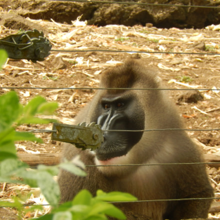 Chimpanzee, Nikon COOLPIX S9500
