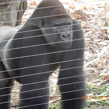 Gorilla, Nikon COOLPIX S9500