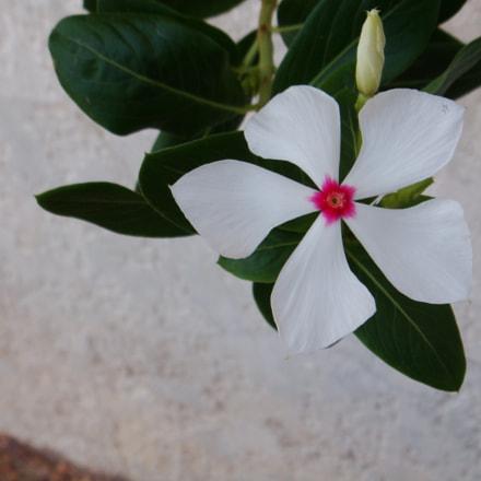 Beautiful White Flower, Sony DSC-T70