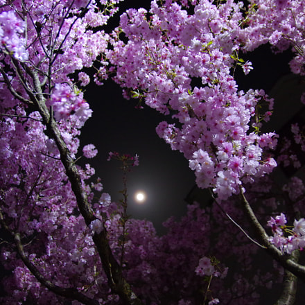 yo zakura 夜桜, RICOH PENTAX K-3, Sigma 17-50mm F2.8 EX DC HSM