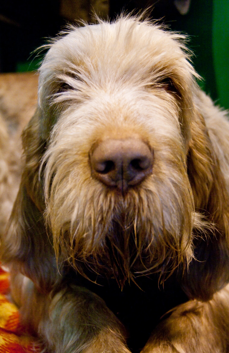Photograph Crufts Spinone by MarbleGiant on 500px