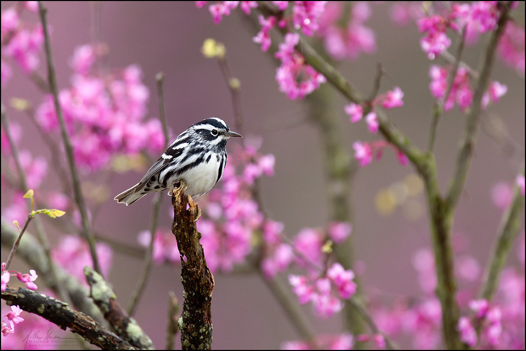 Photograph Black-and-white Warbler by Matthew Studebaker on 500px