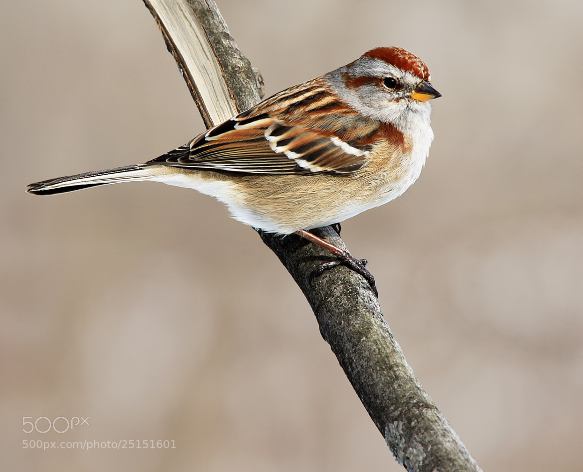 Photograph Sparrow by Brian Masters on 500px