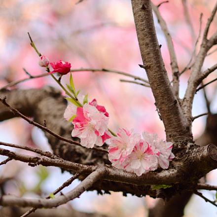 two colors Prunus salicina, Nikon D7500, Sigma Macro 105mm F2.8 EX DG