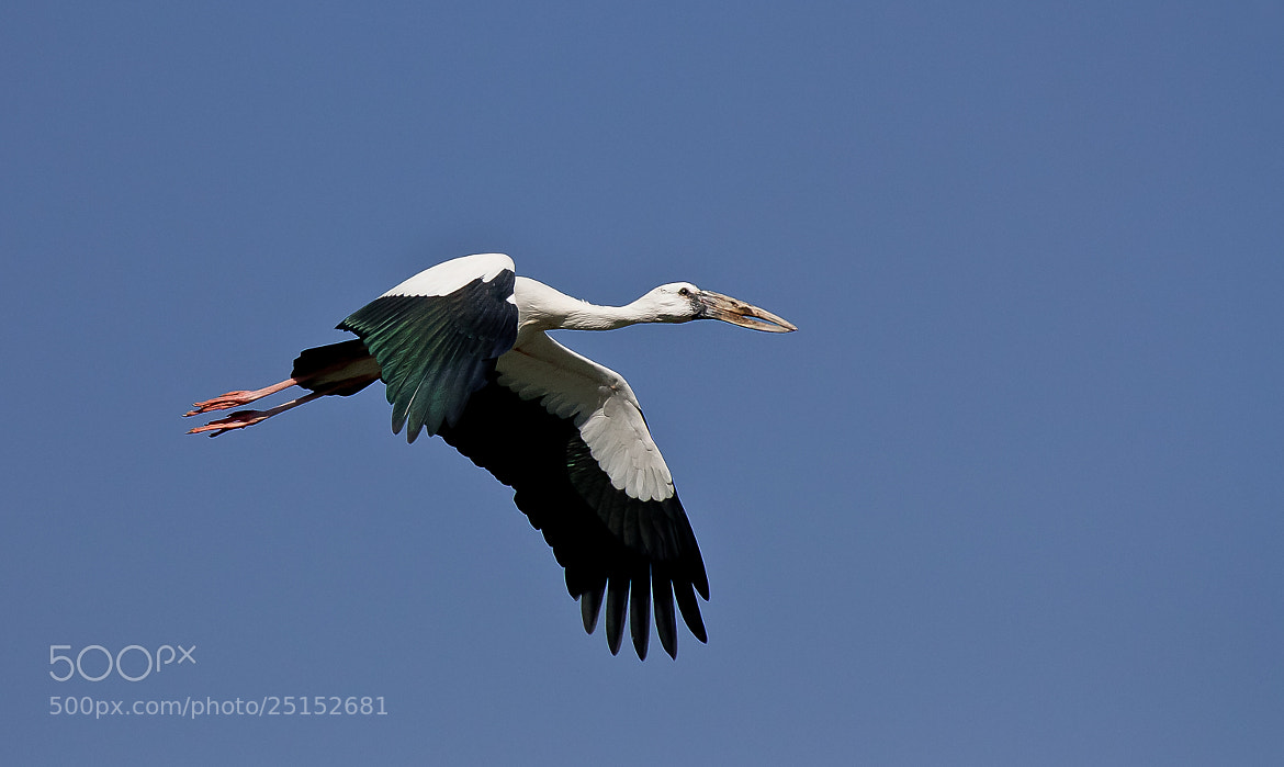 Photograph Pianted Stork in Flight by Pradeep BR on 500px