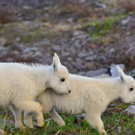 Mountain Goat Nannies, Nikon D800E, AF VR Zoom-Nikkor 80-400mm f/4.5-5.6D ED