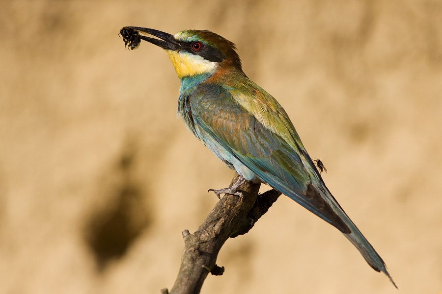 Photograph bee eater by Tibor Popela on 500px