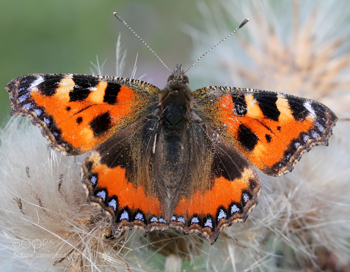 Photograph Small Tortoiseshell by Ger Bosma on 500px