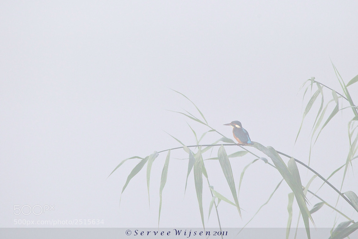 Photograph Kingfisher in the mist... by Servee Wijsen on 500px